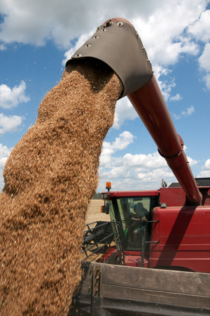 Combine harvester load wheat in the truck at the time of harvest in a sunny summer day Stock Photo