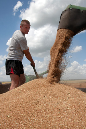 Kharkiv, Ukraine - July 12, 2011: Man level grain by shoveling when loading a truck from harvester in a sunny summer day in Kharkiv Oblast, Ukraine on July 12, 2011