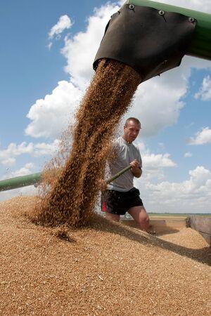 Kharkiv, Ukraine - July 12, 2011: Man level grain by shoveling when loading a truck from harvester in a sunny summer day in Kharkiv Oblast, Ukraine on July 12, 2011
