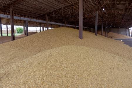 stored: Wheat grain stored in threshing floor Stock Photo