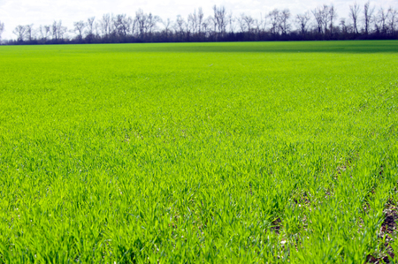 Large green field with fresh wheat germ in a sunny spring day Reklamní fotografie