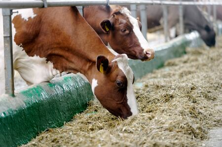 Dairy cows in a farm cowshed. Agriculture industry, farming and animal husbandry