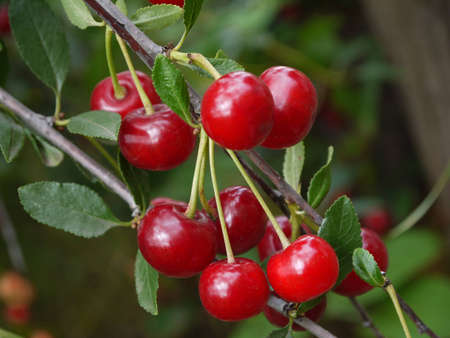 cherry fruit on the branch
