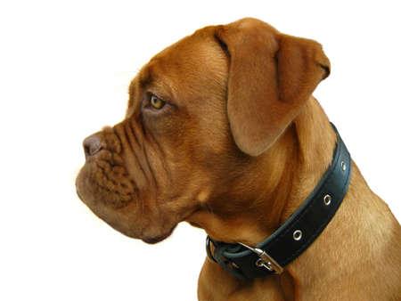 bordeaux mastiff: Bordeaux mastiff