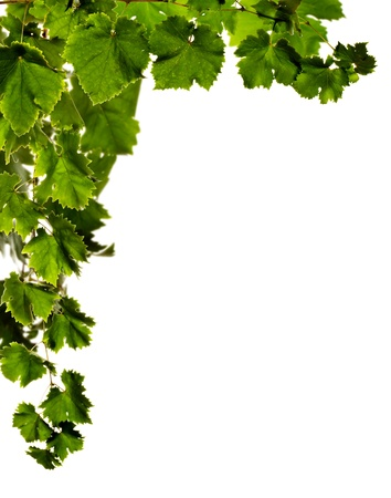 Branches of grape  (selective focus, motion blur), white background. Stock Photo