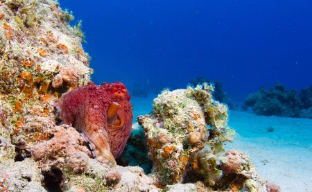 Reef octopus (Octopus cyaneus) sitting on the coral reef. photo