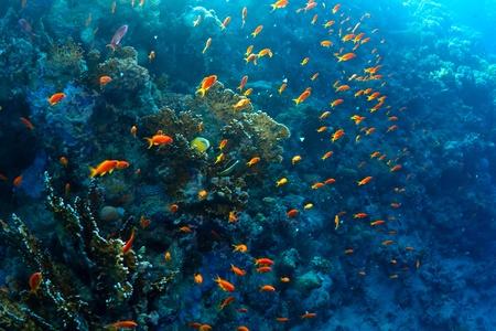 basslet: Mar rojo de hadas basslets (taeniatus Pseudanthias) en un arrecife de coral en el Mar Rojo, Egipto. Foto de archivo
