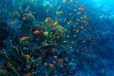 Red sea fairy basslets (Pseudanthias taeniatus) on a coral reef in the Red Sea, Egypt. photo