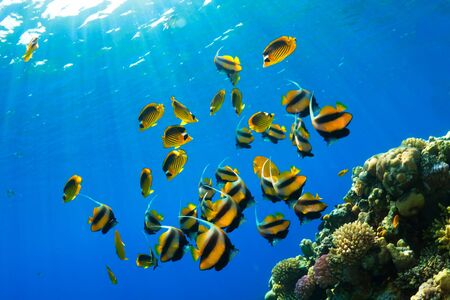 exotic fish: Butterflyfishes (Heniochus intermedius Steindachner and Chaetodon fasciatus Forsskal) in the Red Sea, Egypt. Stock Photo
