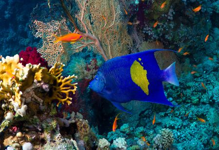 Yellowbar Angelfish (Pomacanthus maculosus) on a coral reef in the Red Sea, Egypt. photo