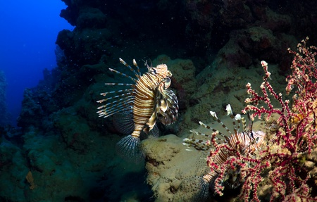 dangerous reef: Two Lionfishes (Pterios miles) on a coral reef in the Red Sea, Egypt.