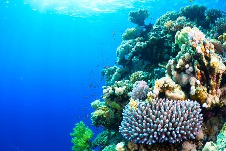 corales marinos: Arrecife de coral y peces en el Mar Rojo, Egipto.
