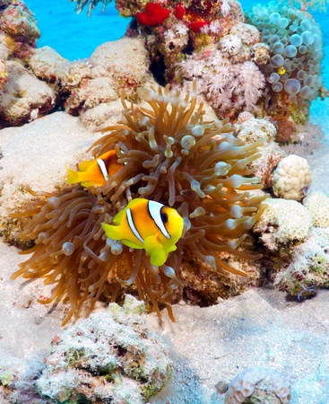 amphiprion bicinctus: Twoband anemonefish (Amphiprion bicinctus) in the Red Sea, Egypt.