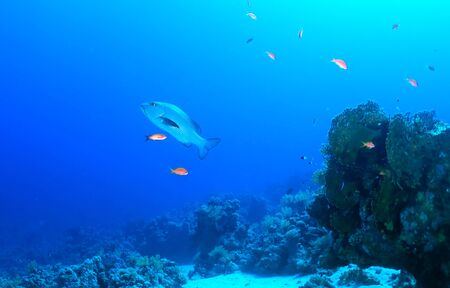 Twospot red snapper (Lutjanus bohar) in the Red Sea, Egypt. photo