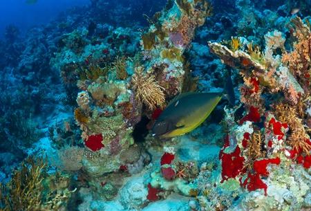 naso: Sleek unicornfish (Naso hexacanthus) in the Red Sea, Egypt.