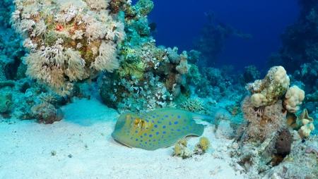 taeniura: Bluespotted ribbontail ray (Taeniura lymma) in the Red Sea, Egypt.  Stock Photo