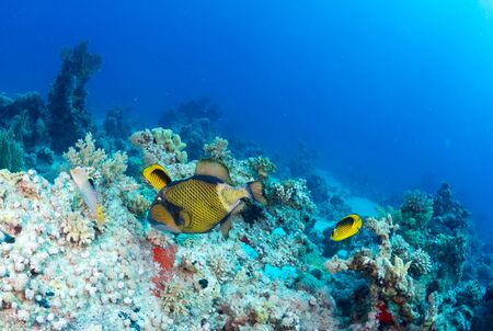 balistoides: Titan triggerfish (Balistoides viridescens) on a coral in the Red Sea, Egypt. Stock Photo
