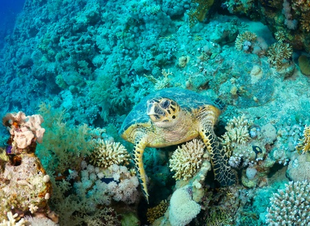 Hawksbill sea turtle (Eretmochelys imbricata) in the Red Sea, Egypt.