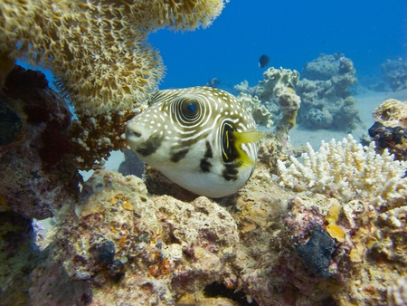 Pufferfish in the red sea (Reticulated puffer) Stock Photo - 11312577