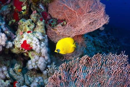 chaetodon: Bluecheek butterflyfish (Chaetodon semilarvatus Cuvier) in the Red Sea, Egypt.