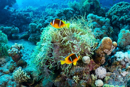 Twoband anemonefish (Amphiprion bicinctus) in the Red Sea, Egypt.