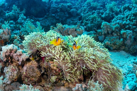 Twoband anemonefish  Amphiprion bicinctus  in the Red Sea, Egypt  photo