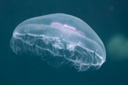 Jellyfish (Aurelia aurita) underwater in the Black Sea. photo