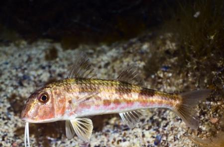 goatfish: Goatfish (Mullus barbatus ponticus) underwater in the Black Sea.