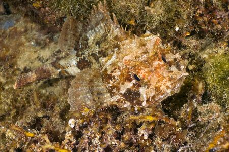 Small scaled scorpionfish (Scorpaena porcus) underwater, in the Black Sea. photo