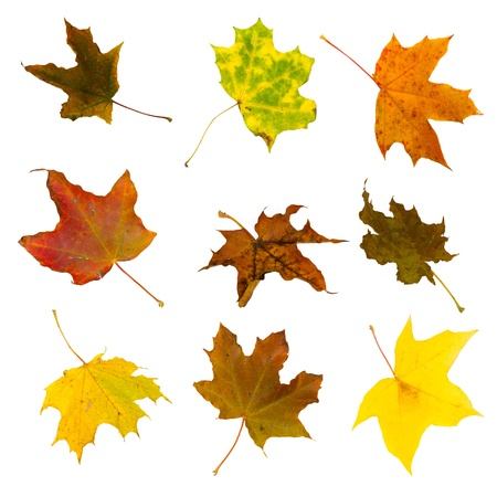 Autumn maple leaves, isolated on white background. Stock Photo