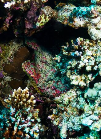 stonefish: Stonefish (Synanceia verrucosa) in the Red Sea, Egypt.