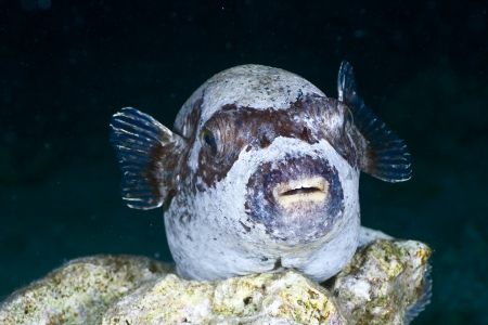arothron: Masked puffer (Arothron diadematus) at night in the Red Sea, Egypt.