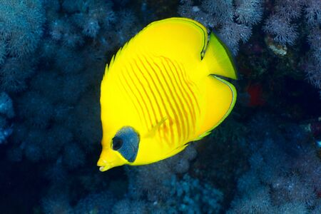 chaetodon: Bluecheek butterflyfish (Chaetodon semilarvatus Cuvier) in the Red Sea, Egypt.