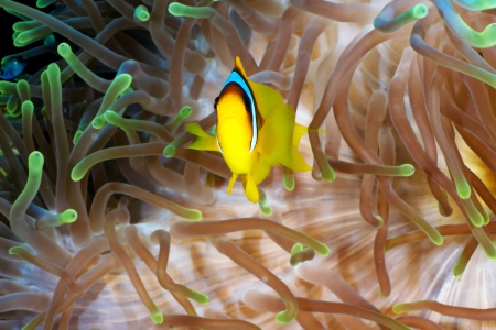 amphiprion bicinctus: Twoband anemonefish (Amphiprion bicinctus) on the background of  anemone in the Red Sea, Egypt.