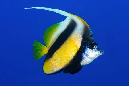 bannerfish: Butterflyfish (Heniochus intermedius Steindachner) in the Red Sea, Egypt. Stock Photo