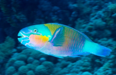 Daisy parrotfish (Chlorurus sordidus) in the Red Sea, Egypt. photo