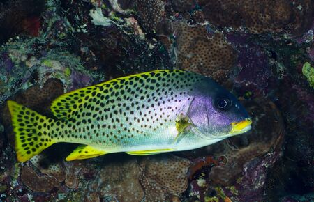 blackspotted: Blackspotted rubberlip  Plectorhinchus gaterinus  macro in the Red Sea, Egypt