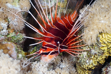 Lionfish  Pterois radiata  at night in the Red Sea, Egypt  Stock Photo