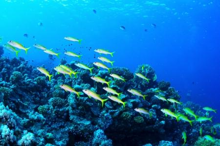 goatfish: Yellowfin goatfishes  Mulloidichthys vanicolensis  in the Red Sea, Egypt