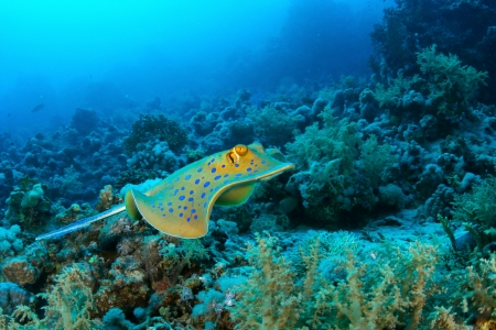 taeniura: Bluespotted ribbontail ray  Taeniura lymma  against Reef in the Red Sea, Egypt  Stock Photo
