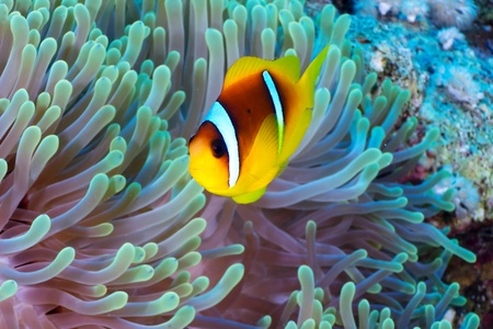 Twoband anemonefish  Amphiprion bicinctus  on the background of  anemone in the Red Sea, Egypt  photo