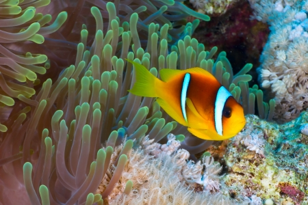 amphiprion bicinctus: Twoband anemonefish  Amphiprion bicinctus  on the background of  anemone in the Red Sea, Egypt