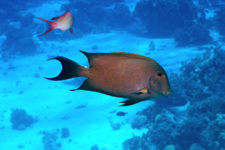surgeonfish: Brown surgeonfish  Acanthurus nigrofuscus  in the Red Sea, Egypt