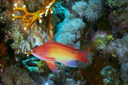 basslet: Sea goldie  Pseudanthias squamipinnis  in the Red Sea, Egypt
