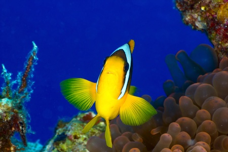 amphiprion bicinctus: Twoband anemonefish  Amphiprion bicinctus  in the Red Sea, Egypt