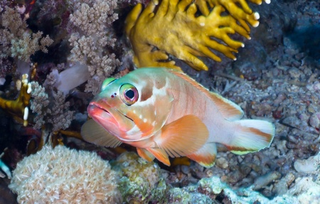 epinephelus: Blacktip grouper  Epinephelus fasciatus  in the Red Sea, Egypt  Stock Photo