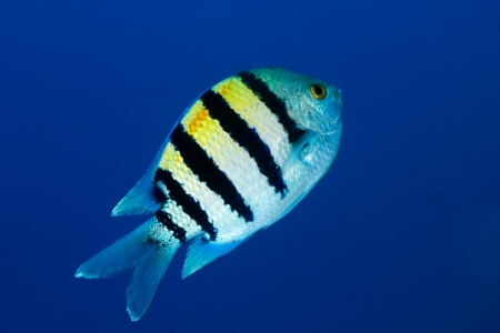 sergeant: Sergeant major  Abudefduf vaigiensis  in the Red Sea, Egypt  Stock Photo