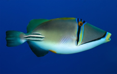 trigger fish: trigger fish  Rhinecanthus assasi  in the Red Sea, Egypt