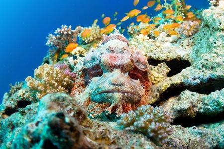 scorpionfish: Bearded scorpionfish  Scorpaenopsis barbata  in the Red Sea, Egypt