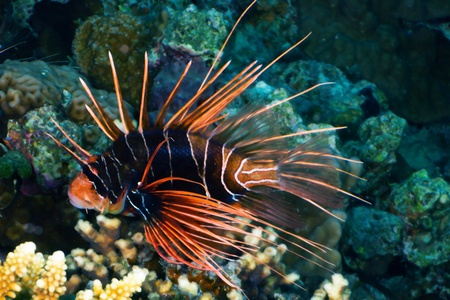 dangerous reef: Lionfish  Pterois radiata  at night in the Red Sea, Egypt  Stock Photo